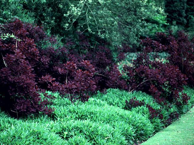 Cotinus coggygria atropurpurea (Red Smoketree) Seed ...