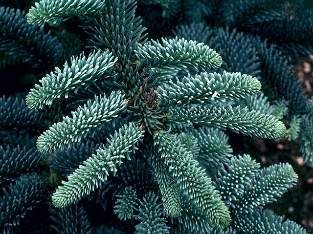 abies procera glauca blue danish fir seed description. Black Bedroom Furniture Sets. Home Design Ideas